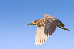 Black-Crowned Night-Heron immature  / Nyc Stock Images