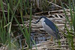 Free Black Crowned Night Heron In Utah Marsh Stock Image - 80166231