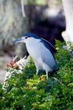 Black-crowned night heron Royalty Free Stock Photos