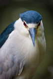 Black-crowned night-heron in Jamaica Bay, Queens,. Close-up of a black-crowned night-heron. Details of its eyes, black bill and contrasting color feathers Royalty Free Stock Photo