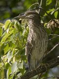Black-crowned Night-Heron juvenile Royalty Free Stock Photos
