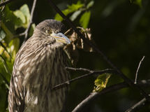 Black-crowned Night-Heron juvenile Royalty Free Stock Photography