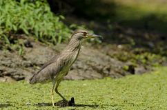 Black-crowned Night Heron Juvenile Stock Photos