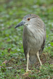 Black crowned night heron juvenile in grassy area. Stock Images