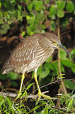 Black-crowned Night Heron Juvenile - nycticorax nycticorax Royalty Free Stock Photography