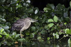 Black-crowned night heron juvenile Royalty Free Stock Photography