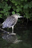 Black-crowned night heron juvenile Stock Images