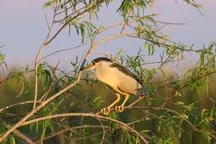 Black-Crowned Night Heron in Florida stock photos