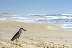 Black crowned night-heron. Black-crowned night-heron landed on the sandy beach of New Towers in Santa Catarina Royalty Free Stock Image