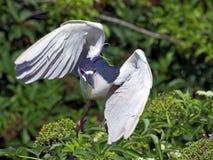 Black-crowned Night Heron Landing Stock Image