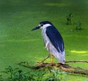 Black Crowned Night Heron. A Night Heron on a log in a pond royalty free stock photo