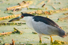 Black-crowned Night Heron Royalty Free Stock Images
