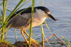 Black-crowned Night Heron. In the marsh royalty free stock photos