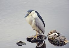 Black-crowned Night Heron  in natural habitat Stock Photography
