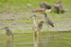 Black crowned night heron  Royalty Free Stock Image