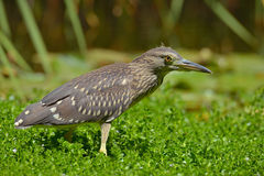 Black crowned night heron Stock Images