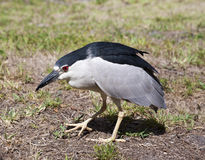Black crowned night heron on nature background. Nycticorax nycticorax. Stock Photos