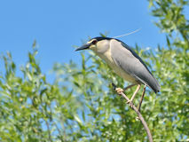 Black crowned night heron in the nature Stock Image