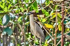 Black-crowned Night Heron Nycticorax nycticorax in Guyana stock photos