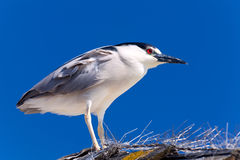 Black-crowned Night Heron, Nycticorax isolated Stock Image