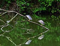 Black-crowned night heron - Nycticorax nycticorax royalty free stock photography