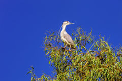 Black-crowned Night Heron, Nycticorax n.nycticorax Stock Images