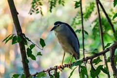 Black-crowned Night Heron or Nycticorax nycticorax in natural habitat royalty free stock photography