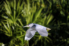 Black-crowned night heron, nycticorax nycticorax Stock Photography