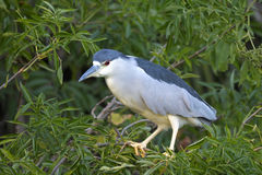 Black-crowned night heron, nycticorax nycticorax Royalty Free Stock Photos