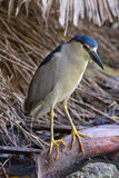 Black-Crowned Night Heron (Nycticorax nycticorax) Royalty Free Stock Photos