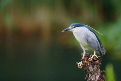 Free Black Crowned Night Heron Nycticorax Nycticorax Stock Images - 191315934