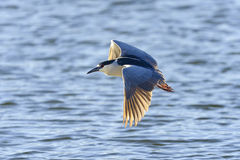 Black-crowned night heron, nycticorax nycticorax Stock Images