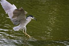 Black-crowned Night Heron,Nycticorax nycticorax Royalty Free Stock Photos