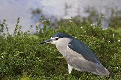 Black-crowned Night Heron,Nycticorax nycticorax Royalty Free Stock Image