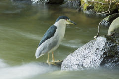 Black-crowned night-heron Royalty Free Stock Photography