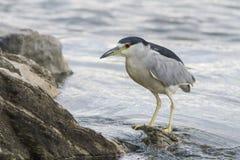 Black-crowned night-heron Stock Image