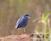 Black-Crowned Night Heron (Nycticorax nycticorax). Stalking along the edge of a pond in India Royalty Free Stock Photography