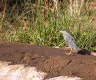 Black-Crowned Night Heron (Nycticorax nycticorax). Stalking along the edge of a pond in India Stock Photography