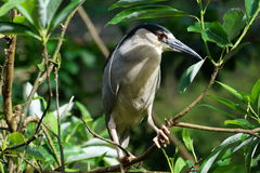 Black-crowned Night Heron (Nycticorax nycticorax) Royalty Free Stock Images