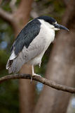 Black-crowned night heron (Nycticorax nycticorax) Royalty Free Stock Photography