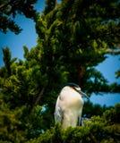 Black Crowned Night Heron - Nycticorax nycticorax royalty free stock photo