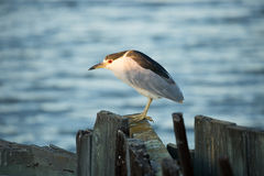 Black-crowned Night-Heron (Nycticorax nycticorax) , close-up Stock Image