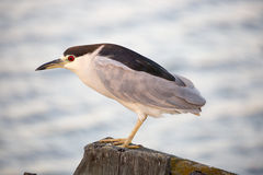 Black-crowned Night-Heron (Nycticorax nycticorax) , close-up Royalty Free Stock Photo