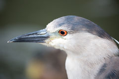 Black-Crowned Night Heron (Nycticorax nycticorax) Adult head. San Francisco, California, USA Royalty Free Stock Images