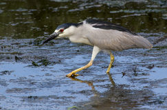 Black-crowned night heron (Nycticorax nycticorax) Royalty Free Stock Photo