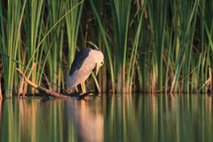 Black-crowned Night Heron, Nycticorax nycticorax Stock Photo