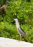 Black crowned night heron. Nycticorax nycticorax. Royalty Free Stock Images
