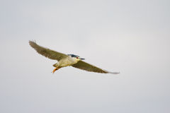 Black-crowned Night Heron (Nycticorax nycticorax). Stock Images