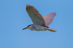 Black-crowned Night-Heron(Nycticorax nycticorax) Royalty Free Stock Photography