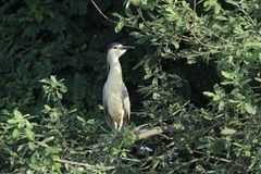 Black-crowned Night Heron, Nycticorax nycticorax hunting Royalty Free Stock Images